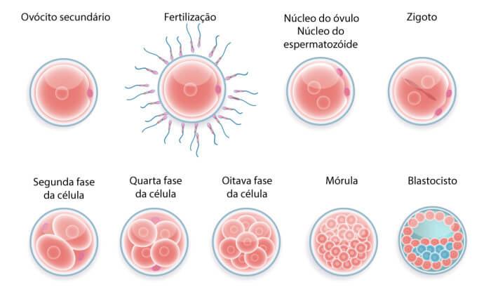 FIV - Como se origina o blastocisto | Mater Prime